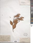 view Cinnamomum doederleinii Engl. digital asset number 1