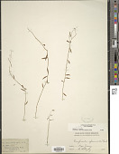 view Campanula aparinoides Pursh digital asset number 1