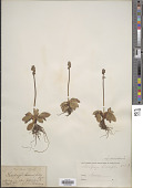 view Micranthes hieraciifolia (Waldst. & Kit. ex Willd.) Haw. digital asset number 1