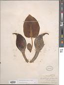 view Symplocarpus foetidus (L.) W. Salisb. ex W.P.C. Barton digital asset number 1