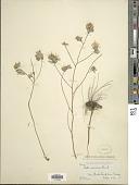 view Symphyotrichum sericeum (Vent.) G.L. Nesom digital asset number 1