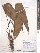 view Anthurium lancifolium Schott digital asset number 1