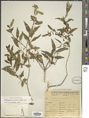 view Blepharocalyx salicifolius (Kunth) O. Berg digital asset number 1
