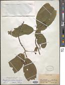 view Frangula grandifolia (Fisch. & C.A. Mey. ex Ledeb.) Grubov digital asset number 1