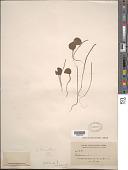view Peperomia umbilicata Ruiz & Pav. digital asset number 1