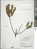 view Valeriana phylicoides (Turcz.) Briq. digital asset number 1