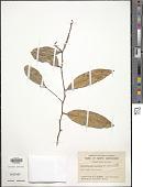 view Xanthophyllum octandrum digital asset number 1