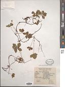 view Rubus pedatus Sm. digital asset number 1