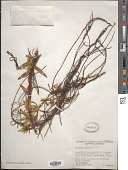 view Cassytha ciliolata Nees digital asset number 1