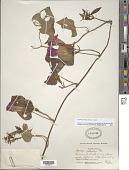 view Ipomoea indica (Burm.) Merr. digital asset number 1