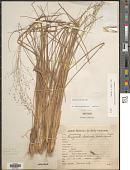 view Eragrostis polytricha Nees digital asset number 1