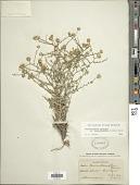 view Machaeranthera canescens var. leucanthemifolius (Greene) S.L. Welsh digital asset number 1