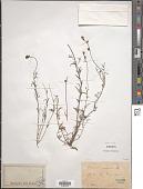 view Linaria arvensis (L.) Desf. digital asset number 1