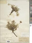 view Trifolium dasyphyllum Torr. & A. Gray digital asset number 1