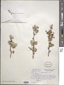 view Ribes pinetorum Greene digital asset number 1
