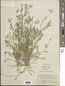 view Astragalus emoryanus (Rydb.) Cory digital asset number 1