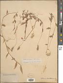 view Oplismenus burmannii (Retz.) P. Beauv. digital asset number 1