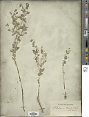 view Heliotropium arguzioides Kar. & Kir. digital asset number 1