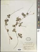 view Desmodium molliculum (Kunth) DC. digital asset number 1