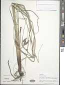 view Carex glaucescens Elliott digital asset number 1