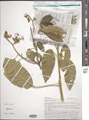 view Calanthea pulcherrima (Jacq.) Miers digital asset number 1