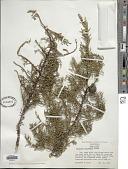 view Cupressus arizonica var. nevadensis (Abrams) Little digital asset number 1