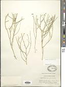 view Lygodesmia juncea (Pursh) Sweet digital asset number 1
