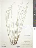 view Eleocharis erythropoda digital asset number 1