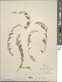 view Polygala brachysepala S.F. Blake digital asset number 1