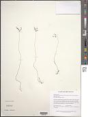 view Dictyostega orobanchoides subsp. parviflora (Benth.) Snelders & Maas digital asset number 1
