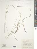 view Carex caroliniana Schwein. digital asset number 1