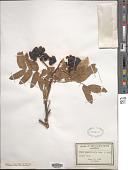 view Sorbus sitchensis M. Roem. digital asset number 1