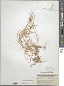view Floerkea proserpinacoides Willd. digital asset number 1