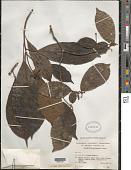 view Sandwithia guyanensis Lanj. digital asset number 1