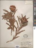 view Protea simplex E. Phillips digital asset number 1