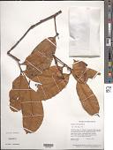 view Duguetia calycina Benoist digital asset number 1
