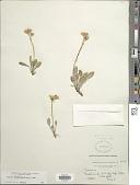 view Packera werneriifolia (A. Gray) W.A. Weber & Á. Löve digital asset number 1