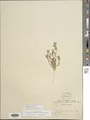 view Ottleya strigosa var. tomentellus digital asset number 1