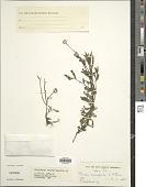 view Porphyrostemma monocephala (E.A. Bruce) Leins digital asset number 1
