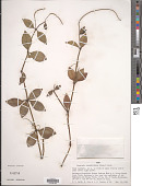 view Peperomia pereskiifolia (Jacq.) Kunth digital asset number 1