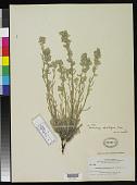 view Oreocarya cilio-hirsuta A. Nelson & J.F. Macbr. digital asset number 1