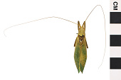 view Common True Katydid digital asset number 1
