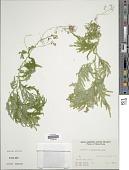 view Selaginella canaliculata (L.) Spring digital asset number 1
