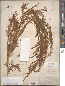 view Kochia scoparia (L.) Schrad. digital asset number 1