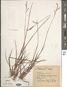 view Paspalum scrobiculatum L. digital asset number 1