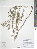 view Oenothera hartwegii subsp. fendleri (A. Gray) W.L. Wagner & Hoch digital asset number 1