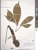 view Xanthosoma helleborifolium (Jacq.) Schott digital asset number 1