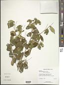 view Eugenia ligustrina (Sw.) Willd. digital asset number 1