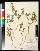 view Trianthema portulacastrum L. digital asset number 1