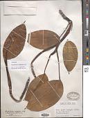 view Rhaphidophora calophylla Schott digital asset number 1